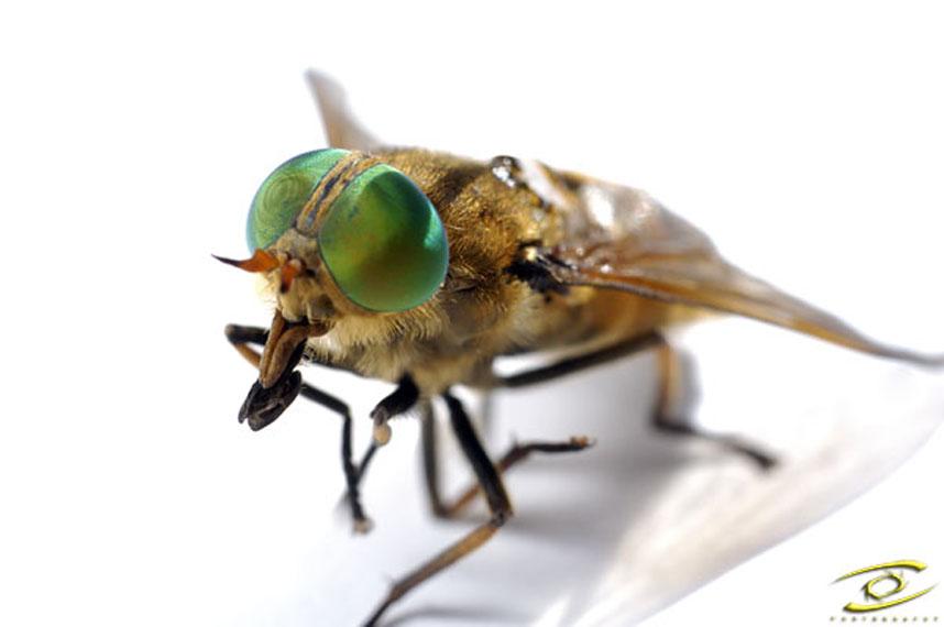 d:beine;d:beissen;d:blut;d:bremse;d:Farben;d:Fliege;d:fressen;d:grün;d:Insekt;d:jäger;d:klein;d:parasit;d:saugen;d:stechen;d:Tier;e:Animal;e:bite;e:blood;e:colours;e:devour;e:fly;e:green;e:horse fly;e:hunter;e:insect;e:legs;e:parasite;e:sting;e:suck;e:tiny;Haematopota pluvialis